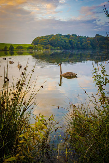 Lone swan Sunset Reeds Talkin Tarn Tarn Last Light Of Day Swan Water Outdoors Reflection Nature Day Tranquility Lake No People Scenics