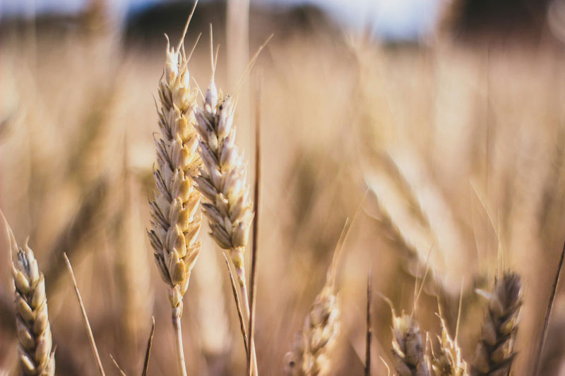 Cereal Plant Wheat Agriculture Crop  Farm Nature Close-up Rural Scene Summer Plant Field Growth Oat - Crop Gold Colored Food Staple Ear Of Wheat No People Outdoors Food Rye - Grain One Man Only First Eyeem Photo