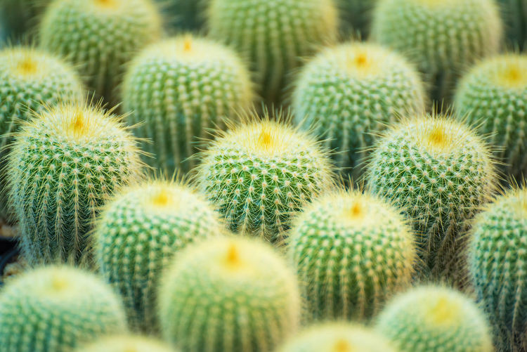 Group of small cactus plant in the pot at cactus garden.Thailand Backgrounds Barrel Cactus Beauty In Nature Cactus Close-up Food And Drink Full Frame Green Color Growth Large Group Of Objects Natural Pattern Nature No People Outdoors Plant Selective Focus Sharp Spiked Succulent Plant Thorn