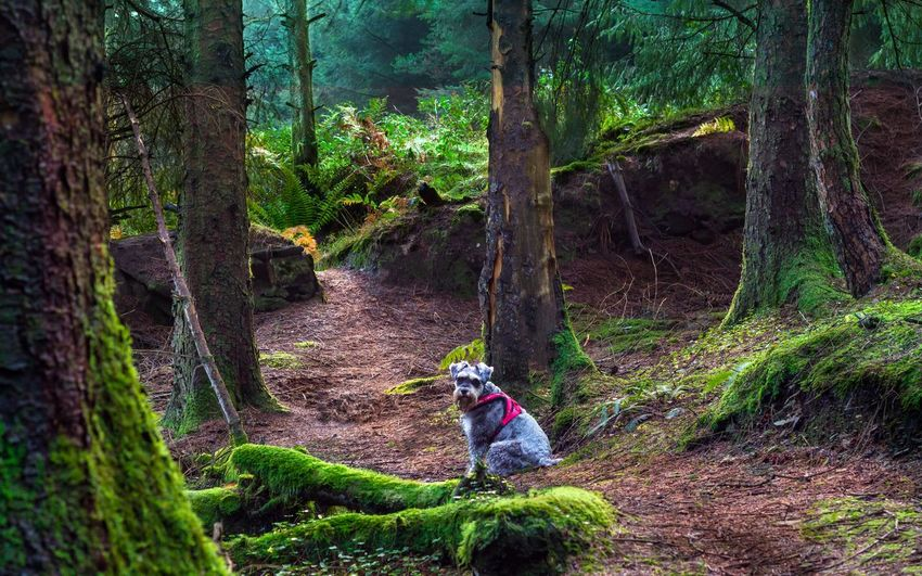 Miniature Schnauzer Dog Plant Tree Growth Nature Land One Person Day Forest Tree Trunk Green Color Trunk Outdoors Leisure Activity Lifestyles Women Full Length Beauty In Nature