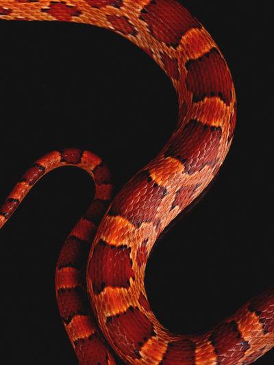 Detail of a snake skin Animal Skin Animal Themes Animal Wildlife Animals In The Wild Close-up No People One Animal Reptile Snake