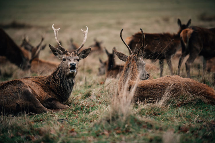 Deer Animal Animal Themes Animal Wildlife Group Of Animals Animals In The Wild Mammal Land Field Vertebrate Grass Deer Plant Domestic Animals Selective Focus Nature No People Herbivorous Day Zoology Herd Dear Adult Animal Grazing Hoofed Mammal