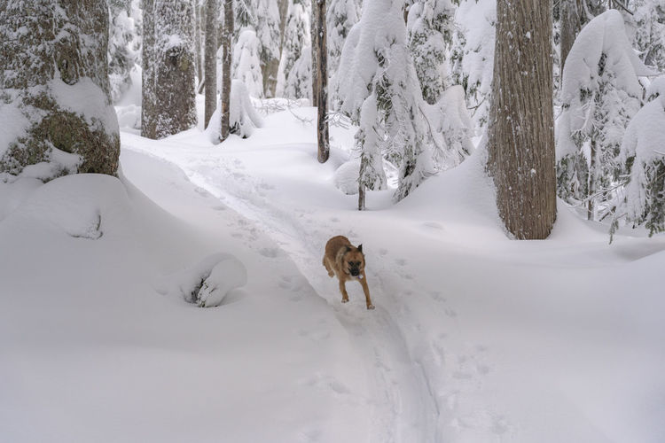 Snow Cold Temperature Winter One Animal Pets Animal Domestic Outdoors Dog Puppy Running Run Forest Woods Trees Happy Excited Excitement Freedom Fast Speed Trail Tracks Tracks In Snow Fun