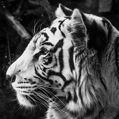 Animal Markings Animal Themes Animal Wildlife Animals In The Wild Close-up Day Feline Mammal Nature No People One Animal Outdoors Tiger Whisker White Tiger