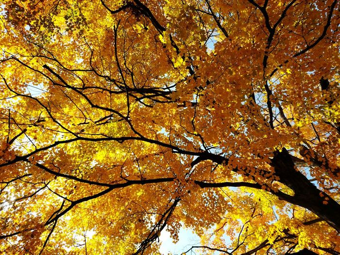 Branches Crisp Autumn Day Low Angle View Looking Up Fall Colors Yellow Orange Tree Branch Backgrounds Full Frame Autumn Leaf Sky Close-up Fall Tree Canopy  Change Autumn Collection Leaves Treetop Maple Tree Maple Leaf Tree Trunk
