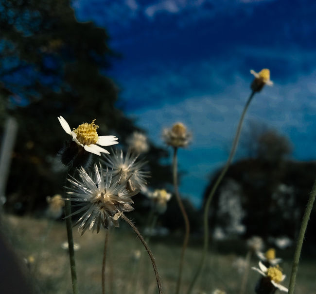 Flower Nature Plant No People Beauty In Nature Fragility Outdoors Sky Close-up Flower Head Freshness Day Contrasts Darktone Plant Wild Flowers Growth Nature Beauty In Nature Blue