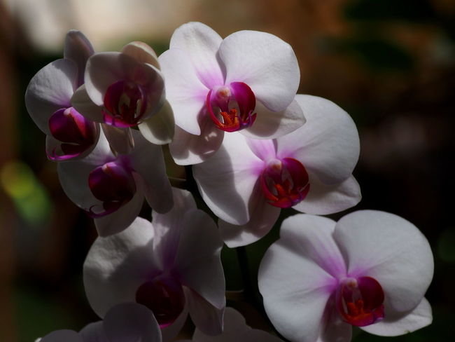 Canary Islands Beauty In Nature Close-up Day Flower Flower Head Flowering Plant Focus On Foreground Fragility Freshness Growth Inflorescence Nature No People Orchid Outdoors Petal Pink Color Plant Pollen Tenerife Tenerife Island Vulnerability  White Color