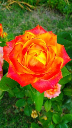 rosa Flower Head Flower Day Lily Springtime Petal Rose - Flower Peony  Soft Focus Leaf Close-up