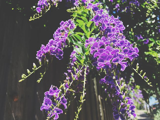 Flower Growth Nature Freshness Purple Fragility Beauty In Nature Plant Leaf Outdoors Day Blooming No People Close-up Lilac Flower Head