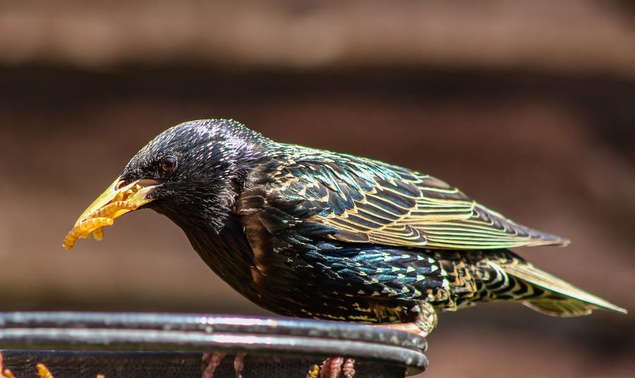 Animal Animal Head  Animal Themes Animal Wildlife Animals In The Wild Beak Bird Close-up Day Focus On Foreground Food Nature No People One Animal Outdoors Perching Side View Starling Sunlight Vertebrate Zoology