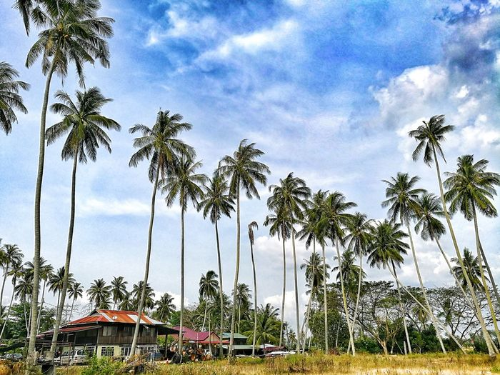 Tall Coconut Tree At Village Coconut Trees Beautiful Tropical Weather Tree Sky Cloud - Sky No People Day Growth Nature Low Angle View Beauty In Nature Palm Tree
