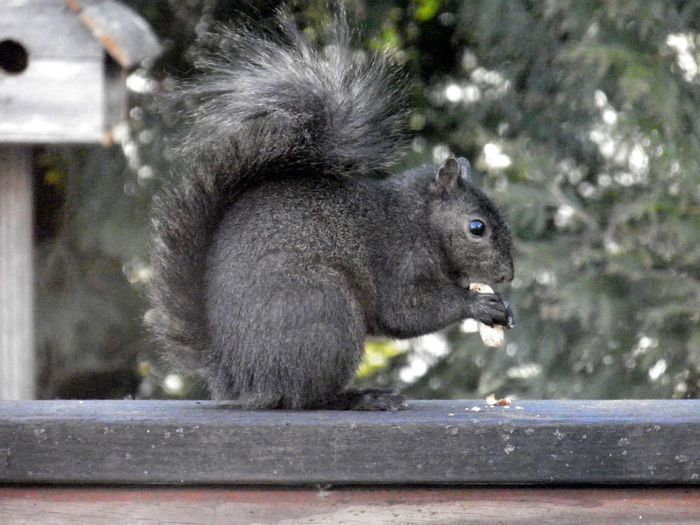 Squirrel closeup black and furry perched atop a wooden railing animal themes EyeEm nature lover One Animal Animal Wildlife Rodent Side View Eating No People
