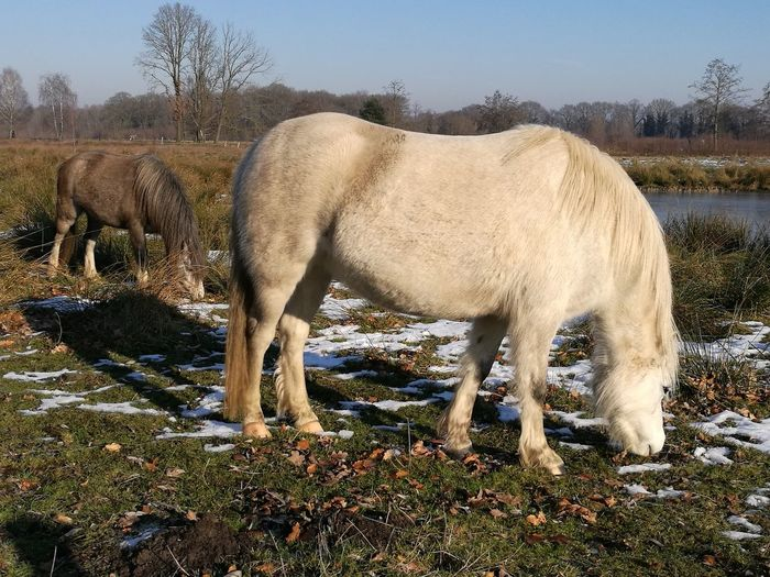 Horse grazing on field against clear sky