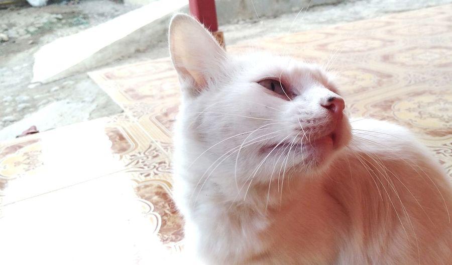 Cute cat EyeEmNewHere White Cat EyeEm Selects Pets Domestic Cat Dog Portrait Cat Animal Eye Persian Cat  Animal Hair Animal Nose Animal Face