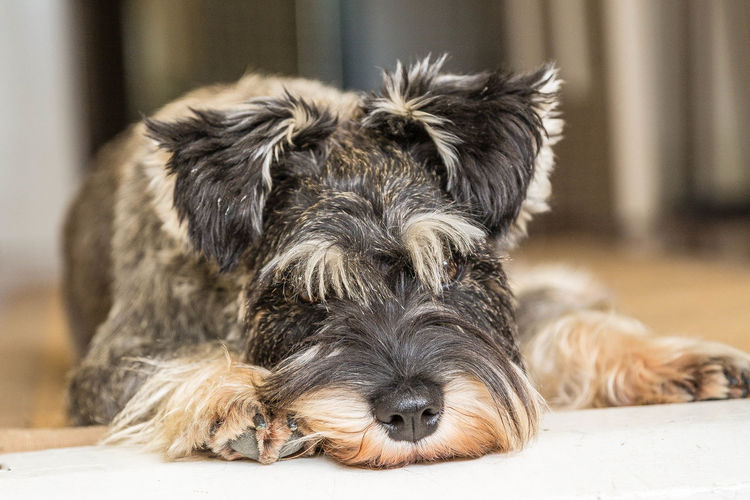 Peppa the schnauzer portrait Animal Hair Animal Themes Close-up Contemplate Cute Dog  Day Daydreaming Dog Domestic Animals Eyebrows Focus On Foreground Indoors  Looking At Camera Lying Down Mammal No People One Animal Pets Portrait Relaxation Schnauzer Schnauzerlove Schnauzermoments Schnauzers