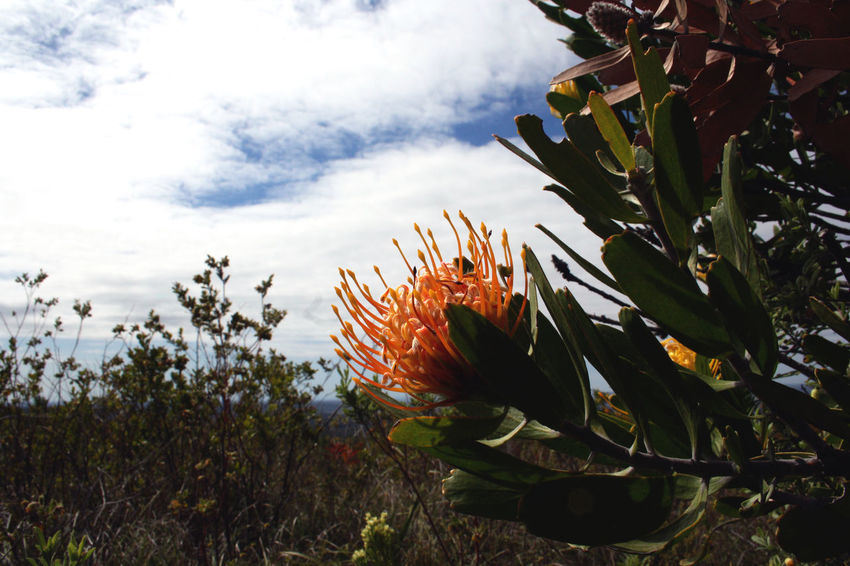 Reach for the sky, plants do it pretty well. Beauty In Nature Cloud - Sky Day Flower Flower Head Growth Leaf Leucospermum Low Angle View Nature No People Outdoors Plant Protea Protea Flower Scenics Sky Tranquil Scene Tranquility
