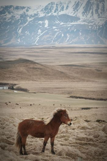 Icelandic horse in a field. Farm Filed Horse Mountain Side View Horizon Animal Themes Landscape Flamingo