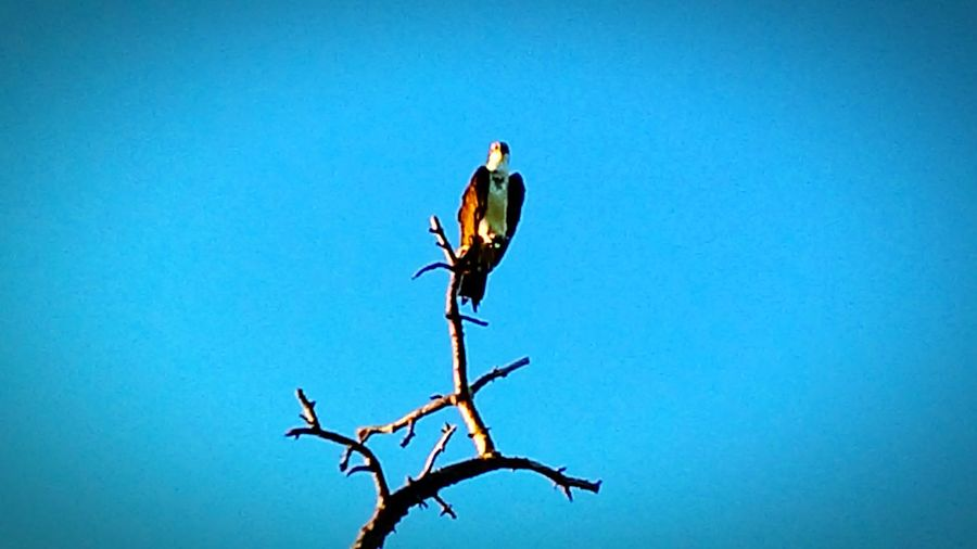 Ospreys Perching Bird Florida Florida Life Around Southwest Venice Florida South Florida Tree