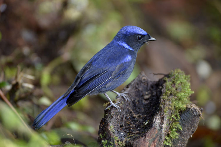 Blue Bird Animal Animal Themes Animal Wildlife Animals In The Wild Bird Blue Branch Close-up Day Focus On Foreground Nature No People One Animal Outdoors Perching Plant Selective Focus Tree Vertebrate Wood - Material