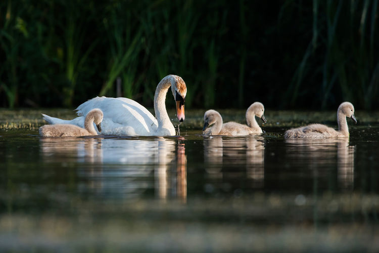 Family of mute swan, cygnus olor on a feeding ground with young at dawn