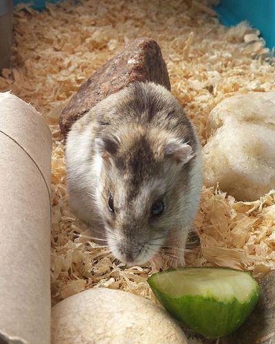 Gregory peck eating xxxxxxx Nefilian Xxxxxxx Hamster 💞 Cucumber Pets Qute X