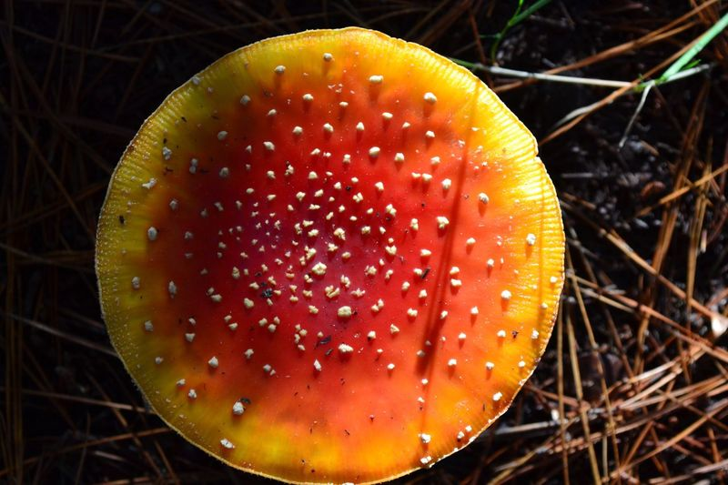Mushroom in between chilean woods. Nonguén Natural Reservation. Amanitamuscaria NonguénReservation Concepción Chile Woods Mushrooms Fungus Nature Closeup Zoom Nofilter Flora Attractivecolours Poison Hallucinating Trekking Hiking Wilderness Outdoor Ecophoto Ecology Forest Nikon