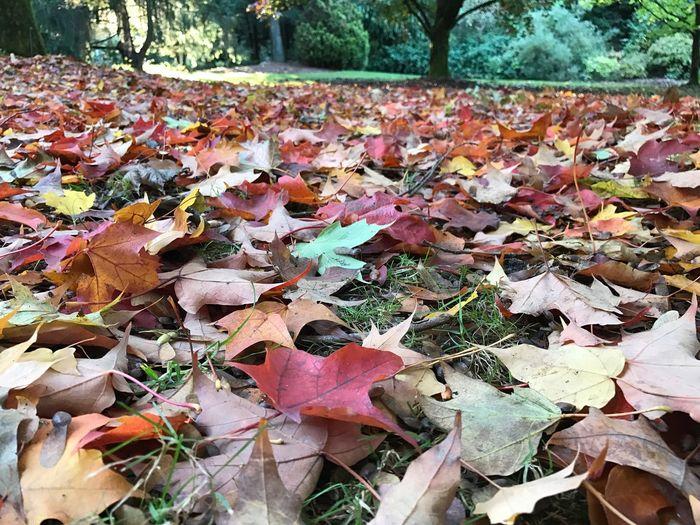 Maximum Closeness Leaf Autumn Maple Tree Nature