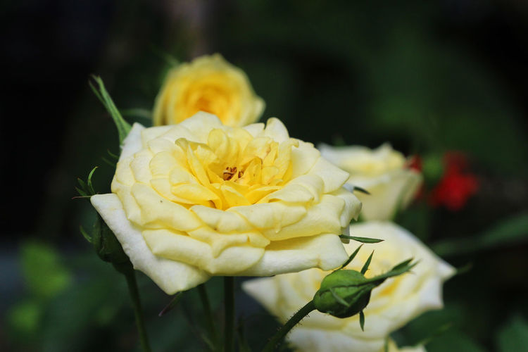 Beauty In Nature Blooming Close-up Day Flower Flower Head Focus On Foreground Fragility Freshness Growth Nature No People Outdoors Petal Plant Rose - Flower Roses Yellow