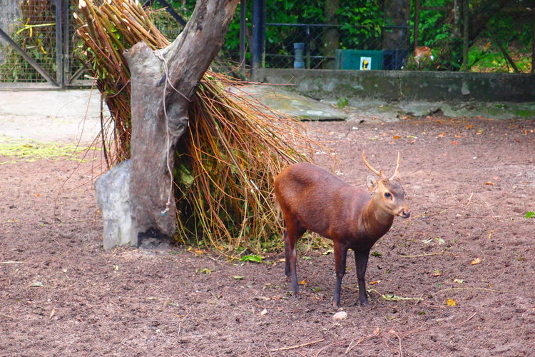 EyeEm Selects Animal Themes Mammal Animals In The Wild Nature One Animal Day Tree Animal Wildlife Outdoors Eating Domestic Animals Safari Animals Zoomalaysia ZooLife Zoophotography Animals In The Wild Nature Grass Zoopark