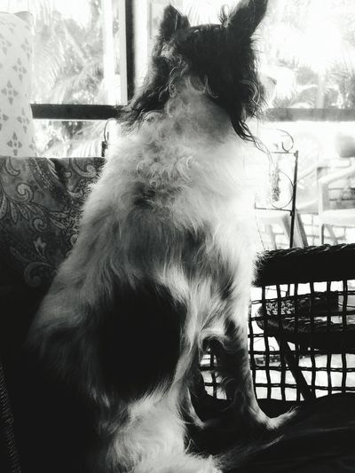 Black And White Friday Blackandwhitedog Blackandwhite Photography Dogs Of EyeEm Close-up Florida Photography Black & White Dogdays Dog Sitting On A Chair Dog Looking Away Dog Photography Dog Love Papillon-sheltie Papillonmix Sheltiemix