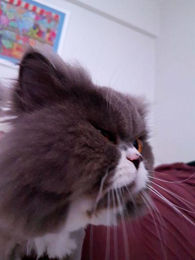 Pet Portraits Close-up Domestic Cat Feline Grey Kittenoftheday Paws Pets