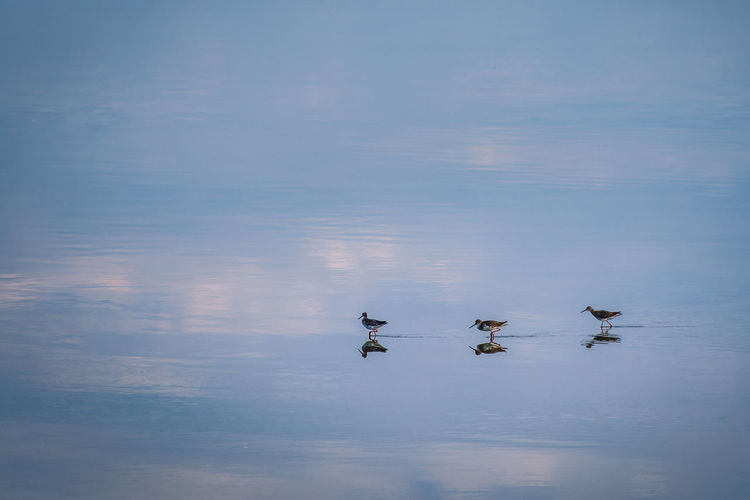 3 Stilt shorebirds walking in a line in the shallow calm reflective tidal sea waters. Reflection Animal Animal Family Animal Themes Animal Wildlife Animals In The Wild Beauty In Nature Bird Blue Cygnet Day Group Of Animals Lake Nature No People Outdoors Reflection Shorebirds Sky Still Swimming Vertebrate Water Water Bird Waterfront