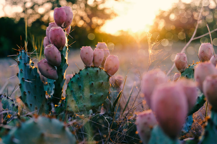 Close-up of prickly pear cactus plants during sunset