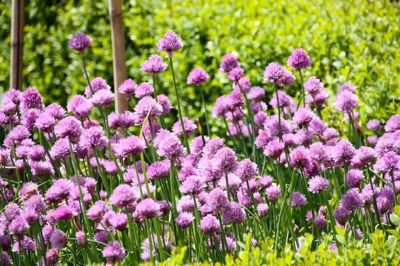 Flower Purple Beauty In Nature Outdoors Flowerbed EyeEm Best Shots