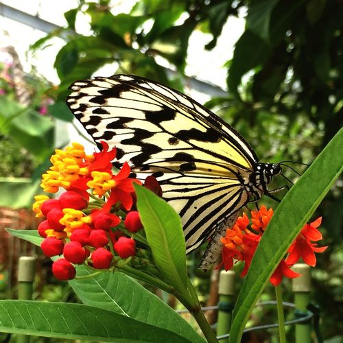 Butterfly Summer Nature Yubujima Ishigaki  Okinawa