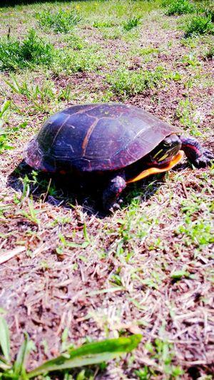 Turtle Wildlife Workplace Taking Photos Thursdaymorning Painted Turtle