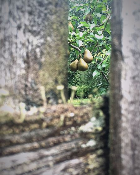 Through the Fence Backyard Finding Beauty Taking Photos Home Is Where The Art Is Backyard Photography Old Fence Pear Tree  Hanging Fruit Pears Looking Through The Fence