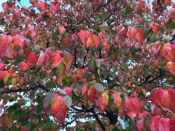 枯れゆく前に緑色から紅色に、、 Plant Growth Full Frame Tree No People Day Freshness Beauty In Nature Nature Outdoors