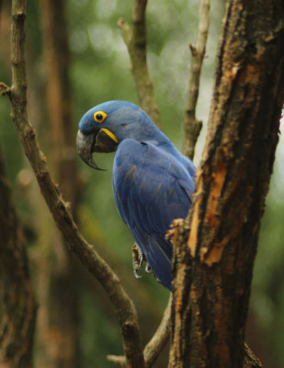 Anodorhynchus Hyacinthinus Animal Animal Themes Animal Wildlife Animals In The Wild Bird Branch Close-up Day Focus On Foreground Forest Hyacinth Macaw Nature No People One Animal Outdoors Perching Plant Tree Tree Trunk Trunk Vertebrate Wilderness Wildlife Zoology EyeEmNewHere
