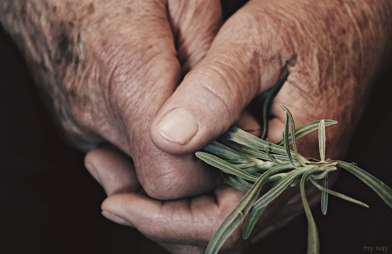 Cropped Hands Holding Rosemary