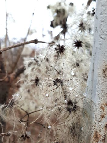 Beige Flower Flower Head Spider Close-up Plant Wildflower Plant Life Blossom Uncultivated Focus Softness Botany