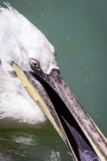 Close-up portrait of great white pelican.
