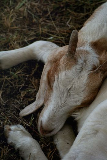 Horns Boer Goat Goat Mammal Animal Animal Themes One Animal No People Domestic Animals Relaxation Vertebrate Pets Domestic Day Animal Body Part Resting Close-up Lying Down Sleeping Land