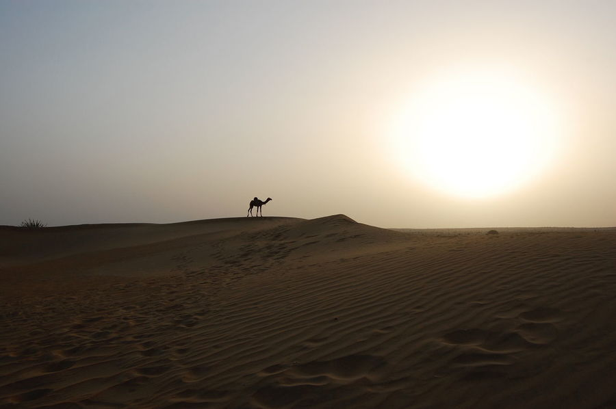 Arid Climate Beach Beauty In Nature Camel Day Desert Extreme Terrain Full Length Heat - Temperature Landscape Nature Outdoors People Sand Sand Dune Sky Sparse Sunrise Sunset