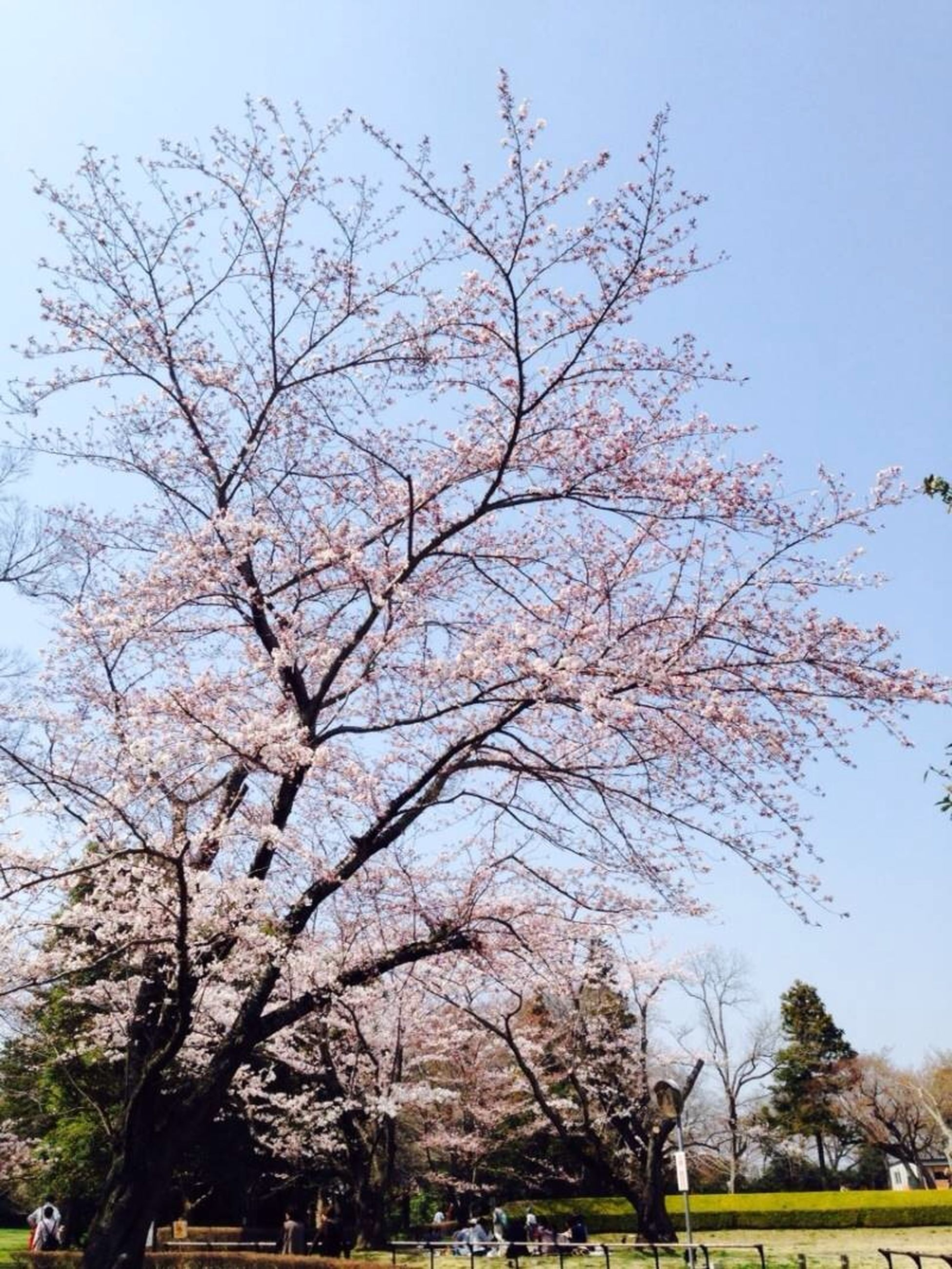 tree, branch, clear sky, bare tree, low angle view, growth, flower, sky, nature, beauty in nature, cherry blossom, day, tranquility, cherry tree, blossom, outdoors, blue, scenics, no people, tree trunk