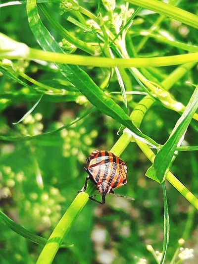 stripes on insects Palasë In Colors Stripes Red Black Leaves Plants Grass Insect Flower Full Length Leaf Close-up Animal Themes Plant Damselfly Cocoon Moth Arthropod Arachnid Blade Of Grass Beetle Wild Animal