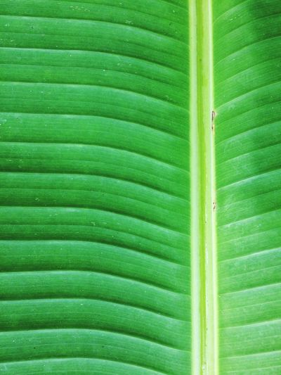 texture of banana leaf Texture Green Leaves Leaf Green Color Backgrounds Leaf Full Frame Nature Close-up Day Banana Leaf Outdoors Beauty In Nature