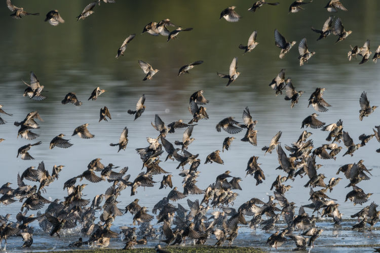 Flock of starling flying over sea