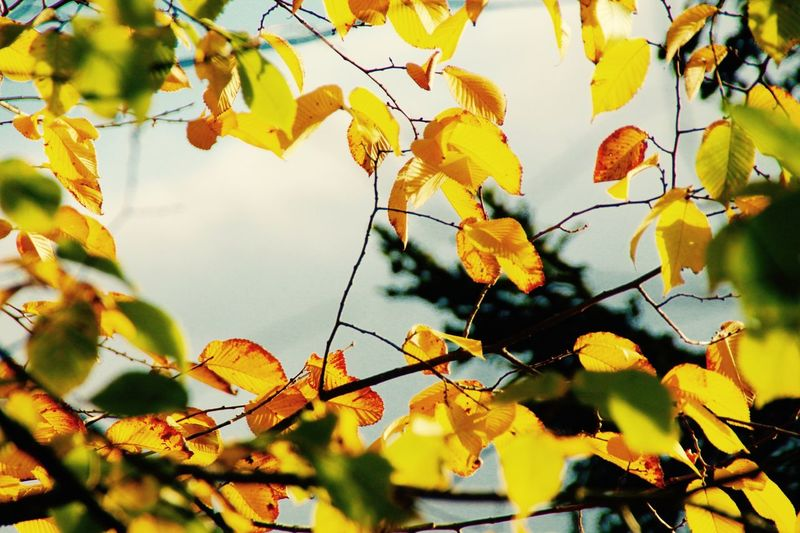Growth Nature Beauty In Nature No People Low Angle View Outdoors Tree Freshness Leaf Close-up Yellow Day Fruit Sky Auttumn Autumn Colors Auttumn Leaves