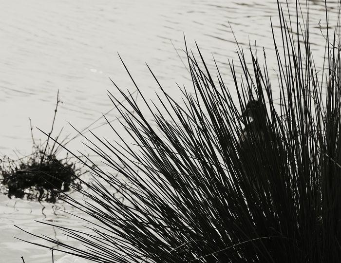 Duck Behind The Reeds ;) Nature On Your Doorstep Eye4photography  EyeEm Best Shots Birds Landscape Bird Photography Nature Photography Ladyphotographerofthemonth EyeEm Nature Lover Silhouette